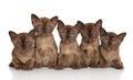 Group Of Burmese Kittens