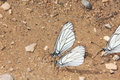 Group of butterflies a great number white sitting on one place summer rural Royalty Free Stock Image