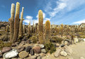 Group of cacti in bolvia on isla incahuasi salar the uyuni salt lake bolivia Royalty Free Stock Photo