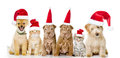 Group of cats and dogs in red christmas hats. isolated on white Royalty Free Stock Photo