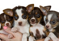 Group of chihuahuas. Stock Photography