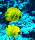 Group coral fish blue water Royalty Free Stock Photography