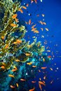 Group coral fish blue water Royalty Free Stock Photo