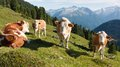 Group of cows (bos primigenius taurus) Royalty Free Stock Photo