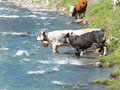 Group of Cows crossing  alpine river in mountain pastures Royalty Free Stock Photo