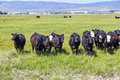 Group of cows grazing Royalty Free Stock Photo