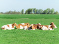 Group of cows resting in the green field under the sun Royalty Free Stock Images
