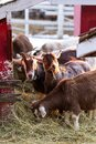 Group of cute dwarf goats eating hay by the barn. Beautiful farm animals at petting zoo Royalty Free Stock Photo