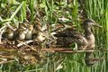 A group of cute Mallard duckling Anas platyrhynchos resting in the reeds at the side of a stream with their mother in the water Royalty Free Stock Photo