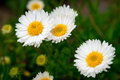 Group of Daisies Closeup Royalty Free Stock Photo