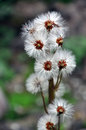 Group of dandelion sead heads Royalty Free Stock Photo
