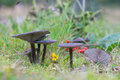 Group dark mushrooms blue stalk mushroom in forest Stock Images