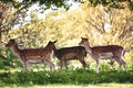 Group of deer photo a situated in the grounds foutains abbey north yorkshire u k Stock Images