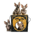 Group of Devon Rex kittens playing isolated on white Royalty Free Stock Photo