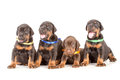 Group of dobermann puppies on white background Stock Image