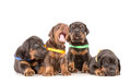 Group of dobermann puppies on white background Stock Photography