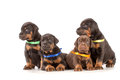 Group of dobermann puppies on white background Stock Photos