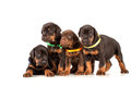 Group of dobermann puppies on white background Royalty Free Stock Photo