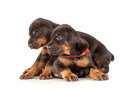 Group of dobermann puppies on white background Royalty Free Stock Image