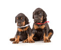 Group of dobermann puppies on white background Royalty Free Stock Photos