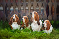 Group of dogs basset hound sitting on the grass Stock Photo
