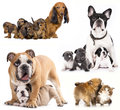 Group of dogs french bulldogs puppy and dog mom Stock Photos