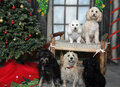 Group of dogs posing for their Christmas portrait Royalty Free Stock Photography