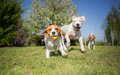 Group of dogs running Royalty Free Stock Photo
