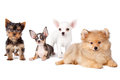 Group dogs of of various breeds on a white background Royalty Free Stock Photo
