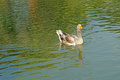 Group of domestic goose in pond swimming Royalty Free Stock Photos