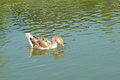 Group of domestic goose in pond swimming Stock Photos