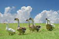 Group of domestic goose walking on the field with beautiful sky background Stock Images