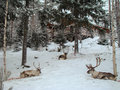 Group of domestic reindeer Royalty Free Stock Photo