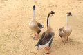 A group of duck. Royalty Free Stock Photography
