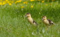 Group of ducklings on a green meadow little walking Stock Photos
