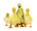 Group of ducklings on the white background Royalty Free Stock Image