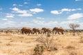Group of elephants in the Savana, Tsavo National Park, Kenya Royalty Free Stock Photo