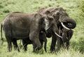 Group of Elephants, Serengeti Royalty Free Stock Photo