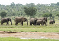 Group Of Elephants In South Af...