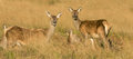 A group of female red deer Royalty Free Stock Photo
