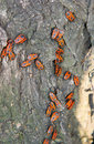 Group of firebugs on a tree bark Stock Photos