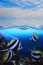 Group of fishes (Moorish idol) Royalty Free Stock Photos
