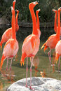 Group of Flamingos Royalty Free Stock Photo