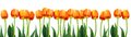 Group Of Flowers Pink Tulips O...