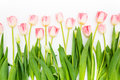 Group of flowers pink tulips on a white background. Panorama. Spring landscape Royalty Free Stock Photo