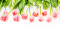 Group of flowers pink tulips on a white background. Royalty Free Stock Photo