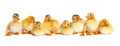 Group of fluffy ducklings isolated Royalty Free Stock Photos