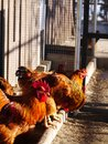 Group free range brown hens Royalty Free Stock Images