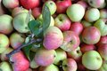 Group of fresh red and green apples Royalty Free Stock Photo