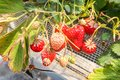 Group of Fresh strawberries that are grown in greenhouses in strawberry farm , Japan Royalty Free Stock Photo